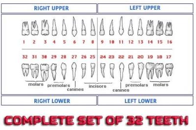 Dental Model Teeth Set (32 teeth) compatible with Columbia Brand